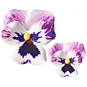 Pansy - Medium Purple - 2.0""